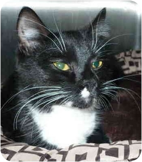 Domestic Shorthair Cat for adoption in San Clemente, California - BLACKIE