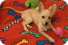Terrier (Unknown Type, Small) Mix Puppy for adoption in Phoenix, Arizona - Tabitha