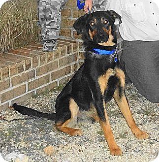 German Shepherd Dog/Labrador Retriever Mix Dog for adoption in SAN ANTONIO, Texas - GUINNESS / DORA