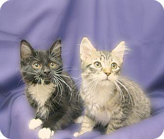 Domestic Shorthair Kitten for adoption in Richmond, Virginia - Miranda and Gordon