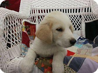 Beagle/Labrador Retriever Mix Puppy for adoption in Linton, Indiana - Logan