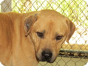 Labrador Retriever Mix Dog for adoption in Henderson, North Carolina - Maximum