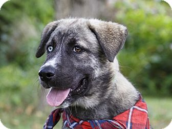 Husky Mix Puppy for adoption in Ile-Perrot, Quebec - Dash