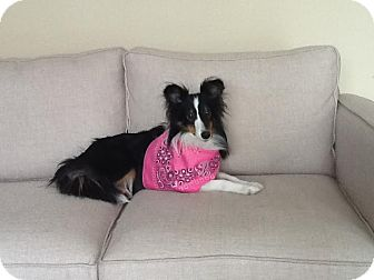 Sheltie, Shetland Sheepdog Mix Dog for adoption in Edmonton, Alberta - Poppy