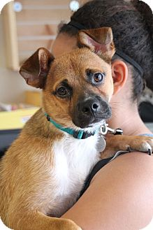 Terrier (Unknown Type, Medium)/Chihuahua Mix Dog for adoption in Chattanooga, Tennessee - Huck