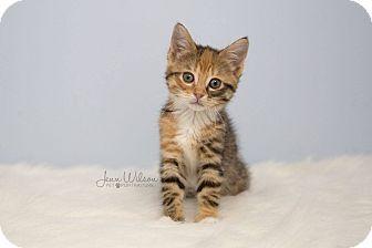Domestic Shorthair Kitten for adoption in Hamilton., Ontario - Kymmie
