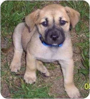 Shepherd (Unknown Type)/Labrador Retriever Mix Puppy for adoption in Hammonton, New Jersey - Cloey