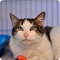 Domestic Shorthair Cat for adoption in Hanna City, Illinois - Clover