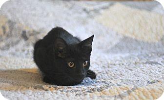 Domestic Shorthair Kitten for adoption in Manchester, Vermont - Liz