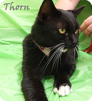 Domestic Shorthair Cat for adoption in Bucyrus, Ohio - Thorn