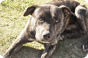 Catahoula Leopard Dog/American Pit Bull Terrier Mix Dog for adoption in Sedan, Kansas - Buster