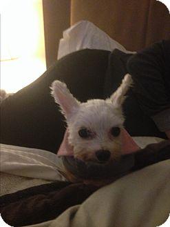 Maltese Mix Dog for adoption in Thousand Oaks, California - Briana