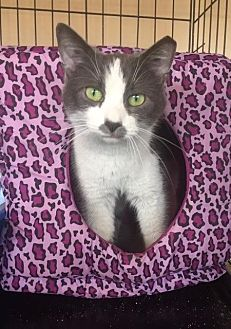 Domestic Shorthair Cat for adoption in Freeport, New York - Viola