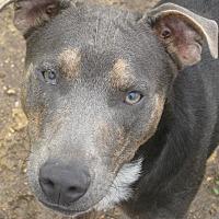 Australian Shepherd Mix Puppy for adoption in Portland, Maine - Trick