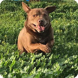Labrador Retriever/Black Mouth Cur Mix Dog for adoption in Dana Point, California - Urgent! Oso