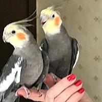 Adopt A Pet :: Simon & Garfunkel - St. Louis, MO