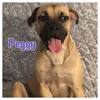 Pug/Labrador Retriever Mix Dog for adoption in Greensboro, Maryland - Peggy