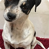 Adopt A Pet :: Chiquis - Tucson, AZ