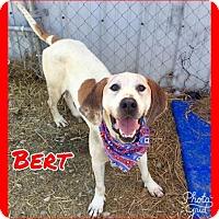 Coonhound Dog for adoption in Jasper, Indiana - Bert