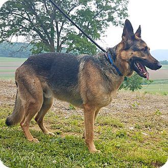 German Shepherd Dog Dog for adoption in New Ringgold, Pennsylvania - Zeus