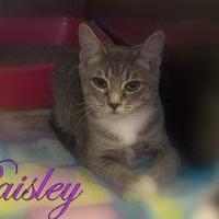 Adopt A Pet :: Paisley - Middleburg, FL
