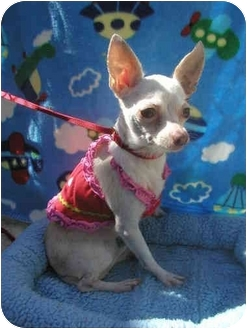 Chihuahua Dog for adoption in LaFayette, Alabama - Gracie