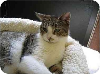 Domestic Shorthair Cat for adoption in Putnam Hall, Florida - Florence