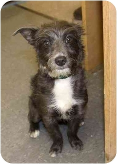 Terrier (Unknown Type, Medium) Mix Puppy for adoption in Phoenix, Oregon - Layla