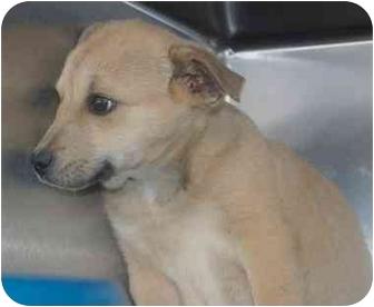 Labrador Retriever Mix Puppy for adoption in Inman, South Carolina - Brail