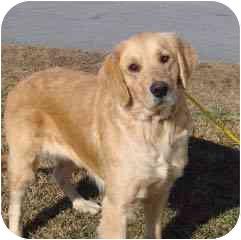 Golden Retriever Dog for adoption in Hammonton, New Jersey - Shayna