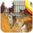 Photo 2 - Domestic Shorthair Cat for adoption in Little Neck, New York - LOOKIN 4 2