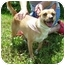 Photo 2 - Chihuahua/Jack Russell Terrier Mix Dog for adoption in Somerset, Pennsylvania - Sweetie