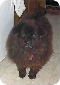 Chow Chow/Cocker Spaniel Mix Dog for adoption in Sacramento, California - Bear