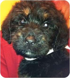 Labradoodle Mix Puppy for adoption in Oswego, Illinois - Jane