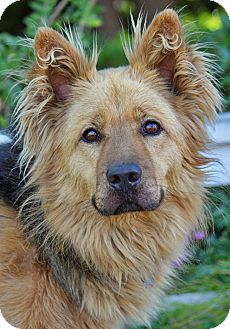 German Shepherd Dog Mix Dog for adoption in Los Angeles, California - Petey von Preetz