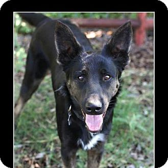 German Shepherd Dog/Shepherd (Unknown Type) Mix Dog for adoption in Comanche, Texas - Slick