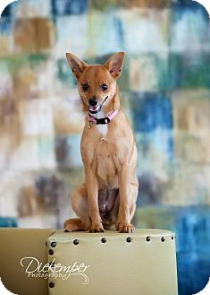 Chihuahua Mix Dog for adoption in Vandalia, Illinois - Chole