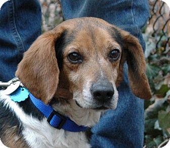 Beagle Dog for adoption in Waldorf, Maryland - Apollo Hendersen
