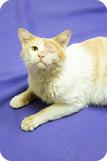 Domestic Shorthair Cat for adoption in Chicago, Illinois - Georgie