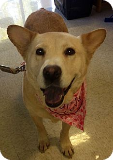 Jindo Dog for adoption in Scottsdale, Arizona - Konju
