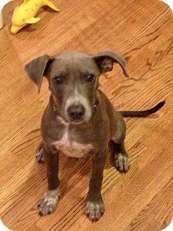 Terrier (Unknown Type, Medium) Mix Puppy for adoption in Marietta, Georgia - Polk