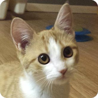 Domestic Shorthair Kitten for adoption in Weatherford, Texas - Roo