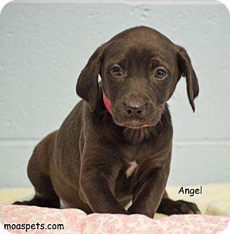 Weimaraner/Labrador Retriever Mix Puppy for adoption in Danielsville, Georgia - Angel