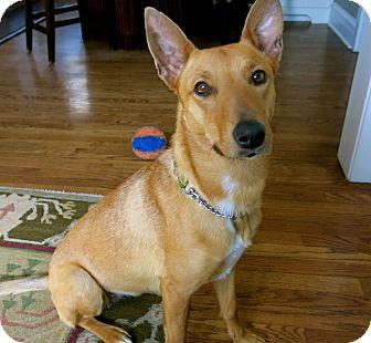 Italian Greyhound Mix Dog for adoption in Hainesville, Illinois - Joslyn