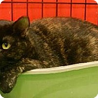 Domestic Shorthair Cat for adoption in Hallandale, Florida - Cleo