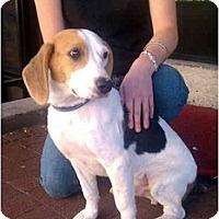 Adopt A Pet :: Bobby - Alexandria, VA