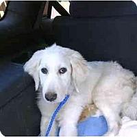 Adopt A Pet :: SNOWFLAKE - Wayne, NJ