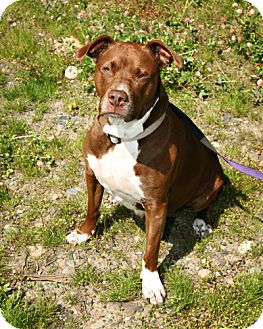Pit Bull Terrier Mix Dog for adoption in Bellingham, Washington - Katie