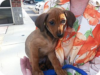 Dachshund Mix Puppy for adoption in Richmond, Virginia - Stone