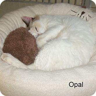 Domestic Mediumhair Cat for adoption in Slidell, Louisiana - Opal